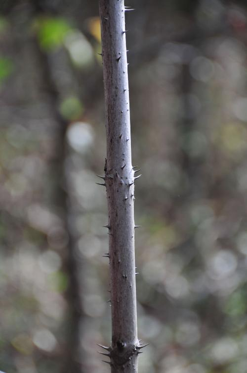 Devils Walking Stick